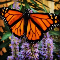 Monarch-on-Anise-Hyssop-620x620